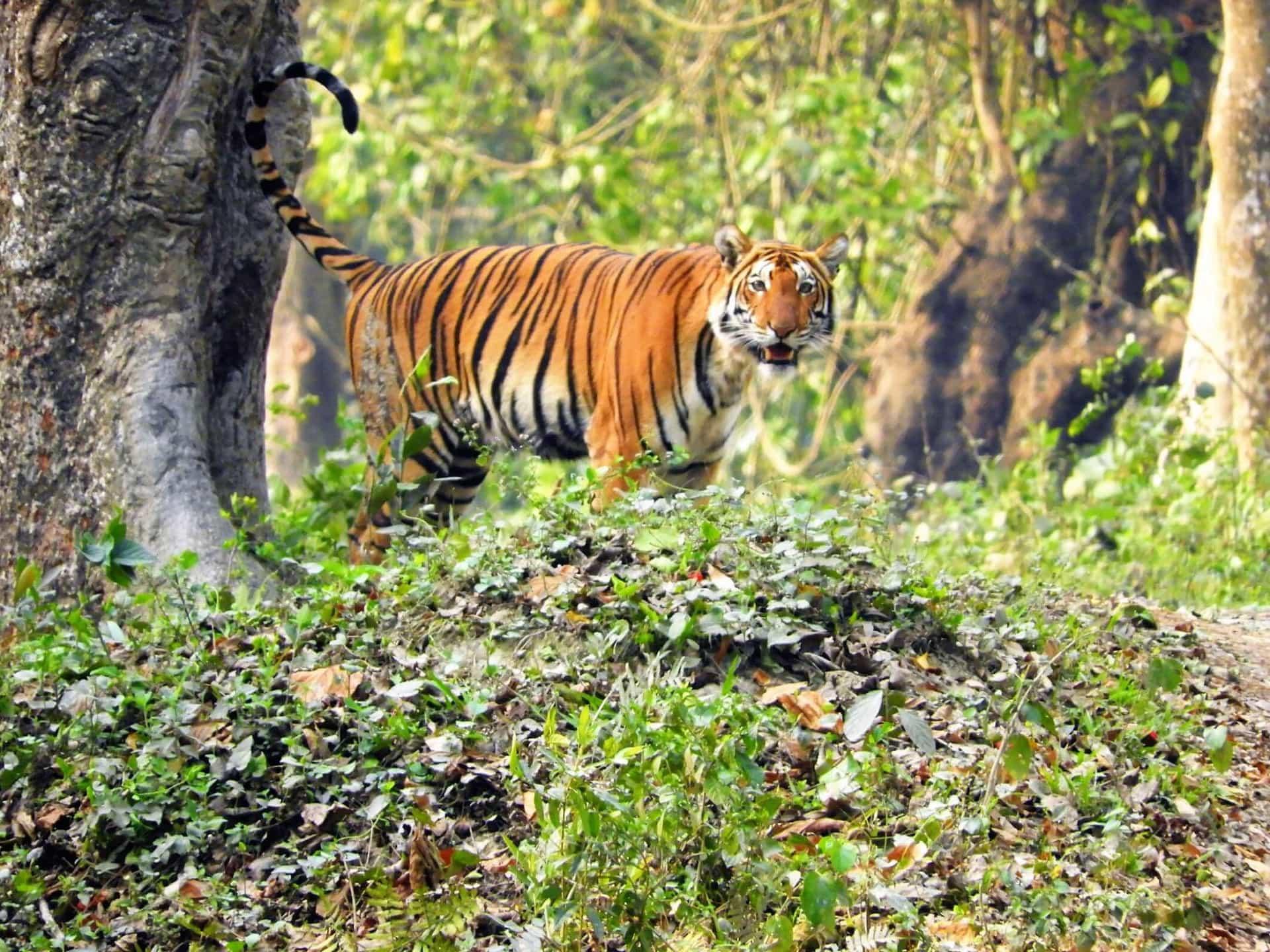 Tigre du Bengale au Parc National de Kaziranga