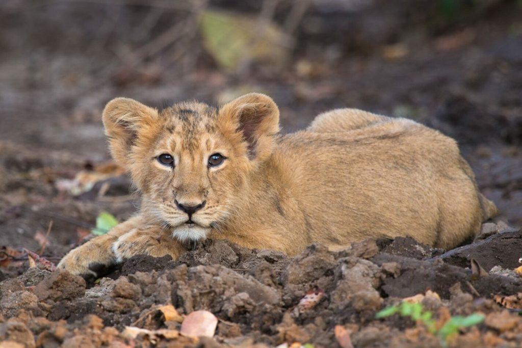 Lionceau asiatique au Gir National Park, Gujarat