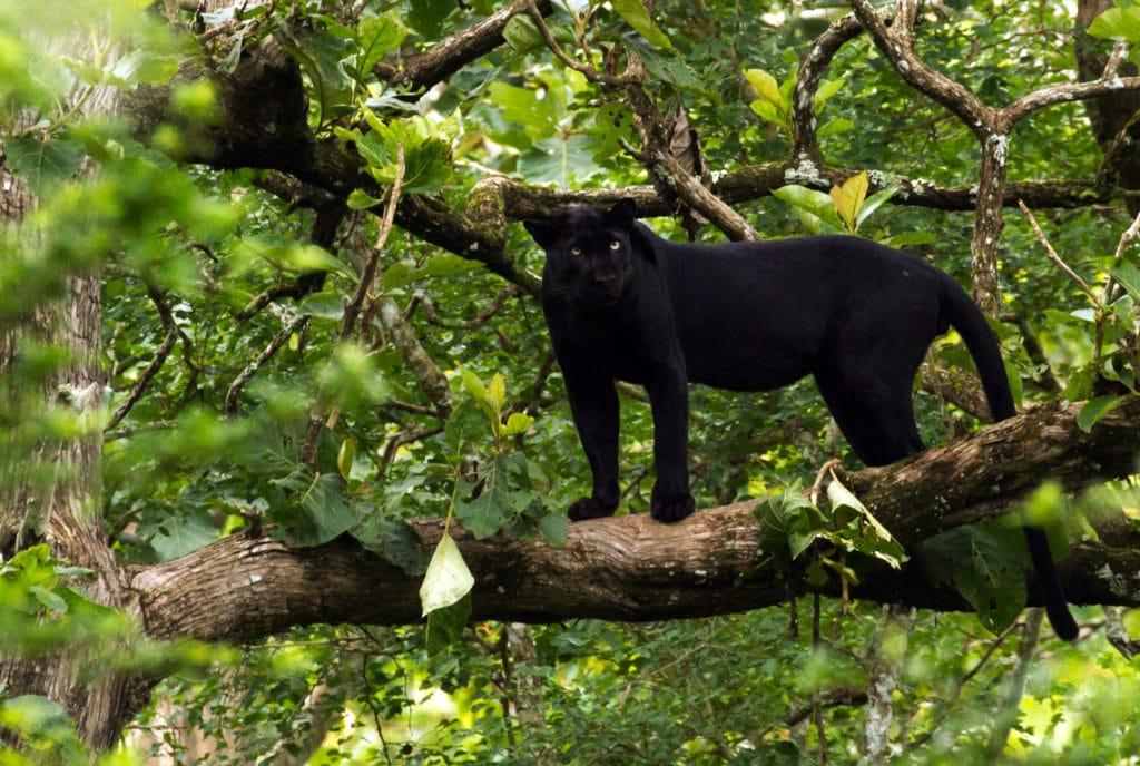 Panthère noire, Nagarhole National Park