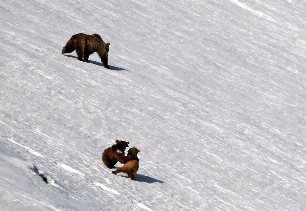 Oursons bruns jouent dans la neige au Ladakh