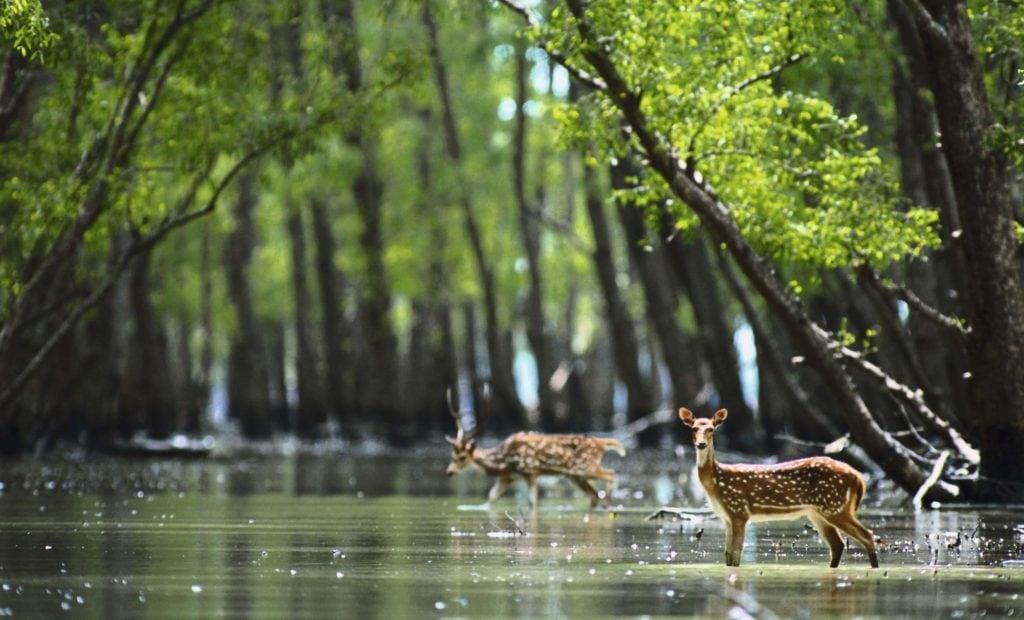 Chitals au Parc National des Sundarbans