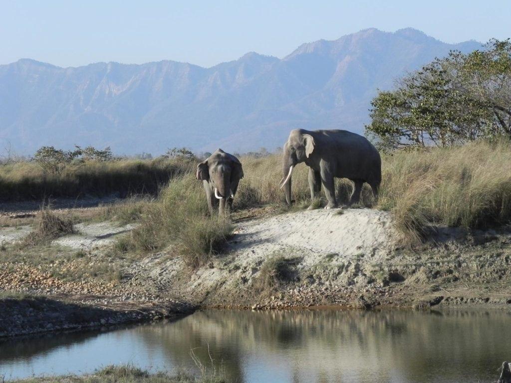 Eléphant indien au Parc National de Bardia, Népal