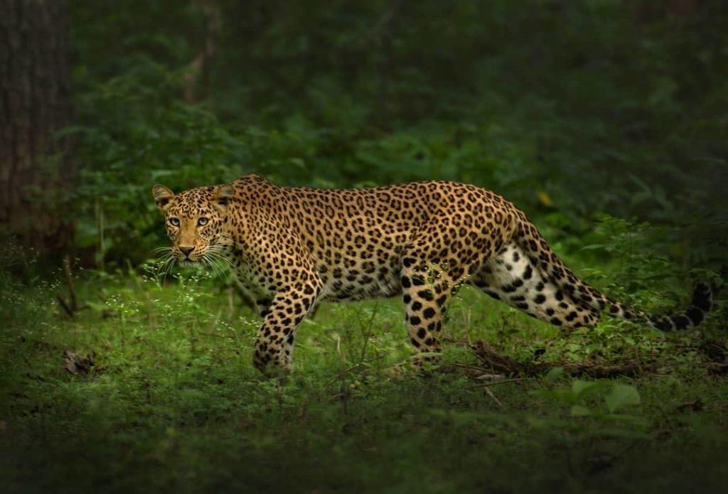 Superbe Léopard au Nagarhole National Park