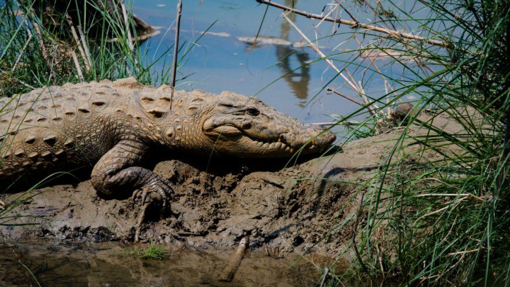 Crocodile des marais au Parc National de Bardia, Népal