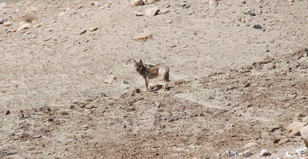 Loup gris du Tibet au Ladakh