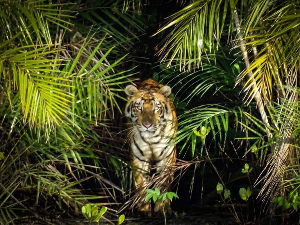 Tigre au Parc National des Sundarbans