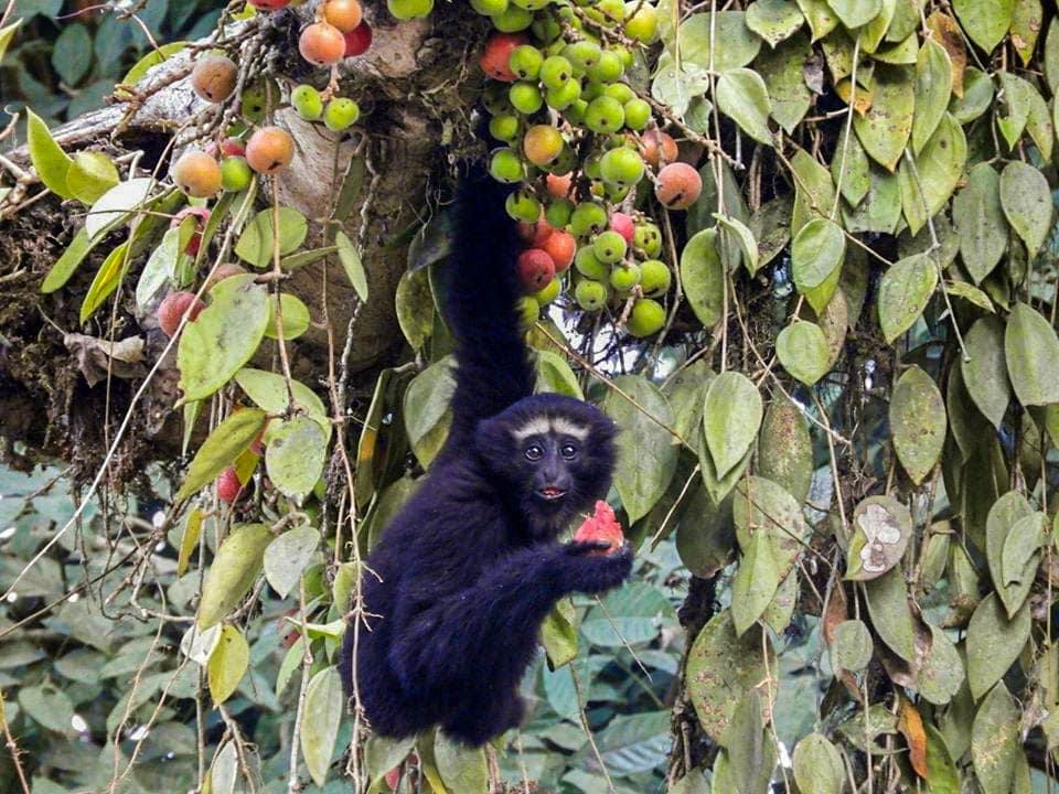Jeune gibbon Hoolock à Hoolongapar en Assam