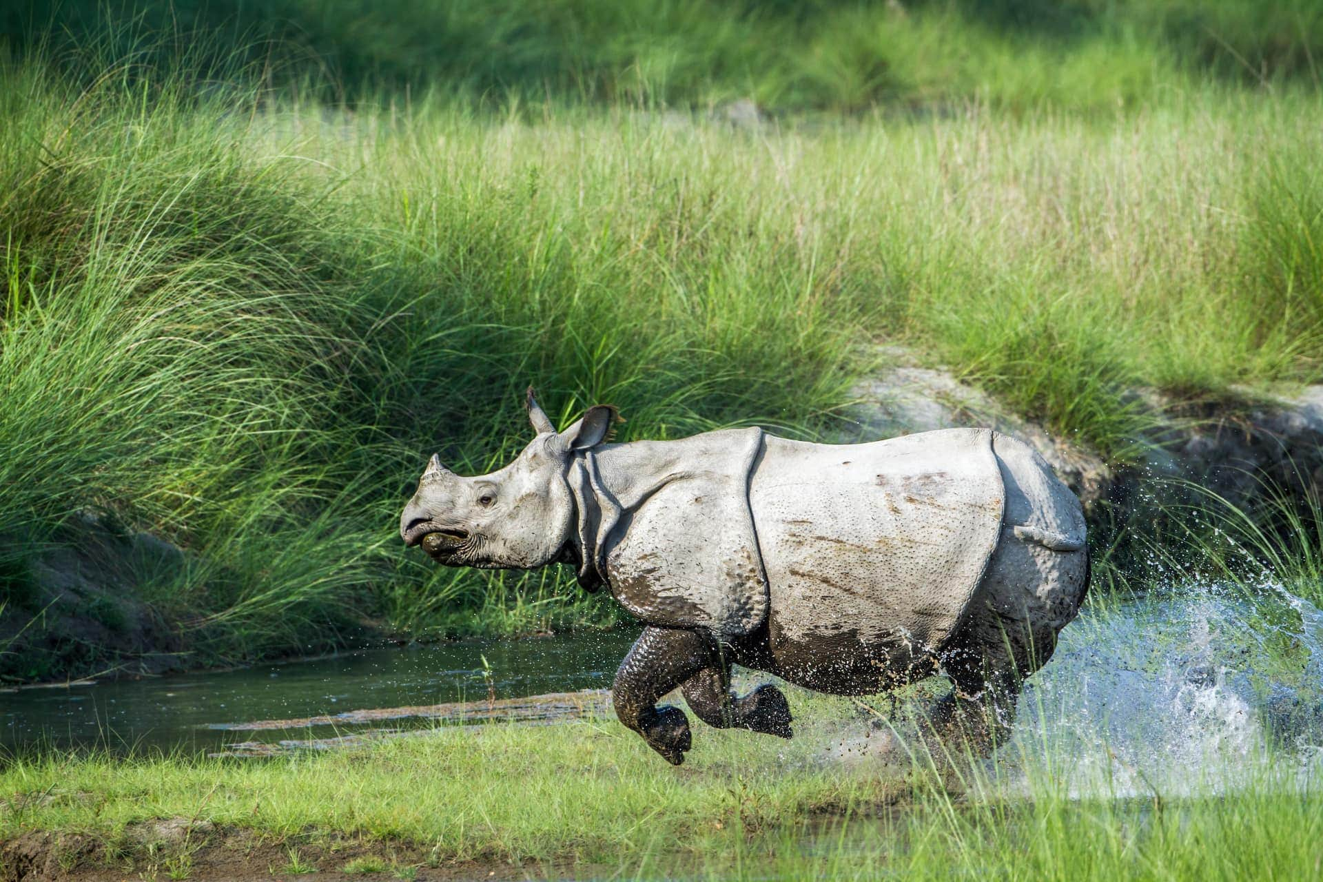 Asian Rhino Kaziranga National Park Assam India