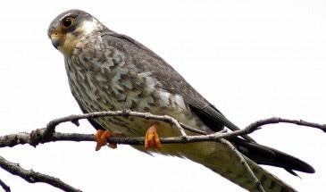 Migration femelle de faucon d'Amour dans Nagaland