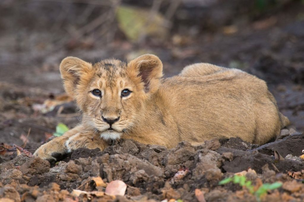 Asiatic Lion Cub in Gir National Park, Gujarat