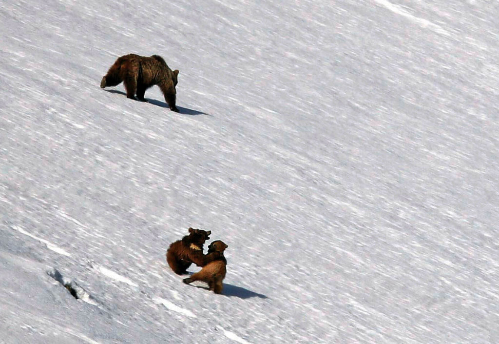 Brown bear cubs playing in the snow in Ladakh