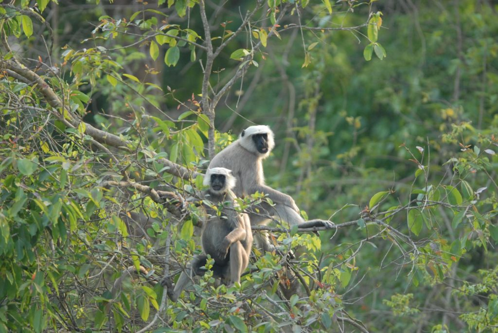 Grey Langur in Bardia National Park, Nepal