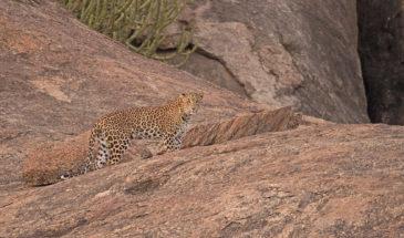 Léopard avec son camouflage naturel à Bera au Rajathan