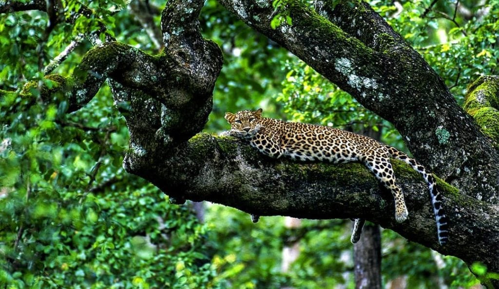 Leopard perched in a tree in Nagarhole National Park