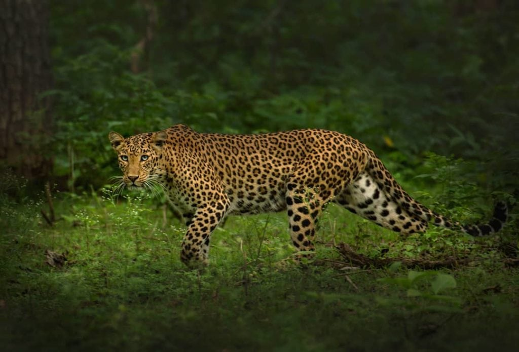 Stunning Leopard in Nagarhole National Park