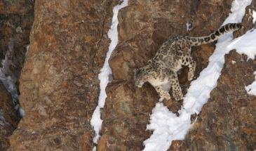 Panthère des neiges saute au Ladakh