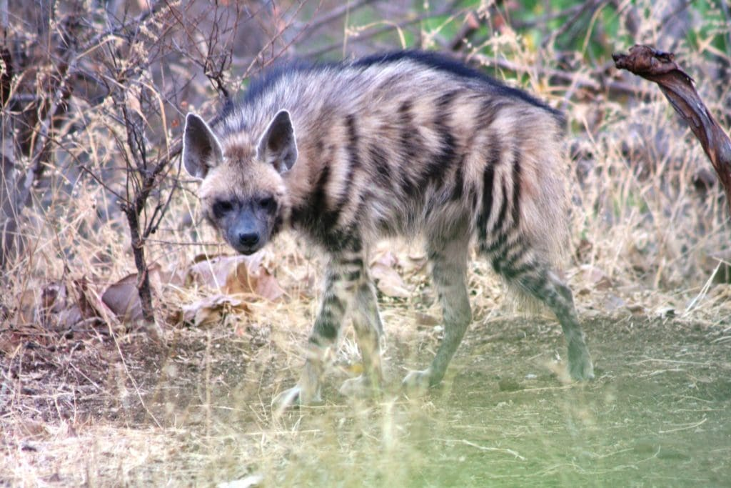 Striped Hyena in Blackbuck National Park, Gujarat