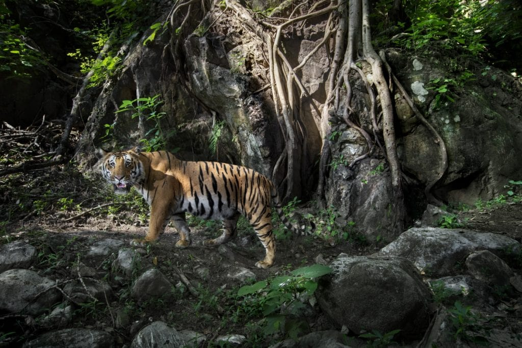Tigre au Chitwan National Park, Paul McDougall