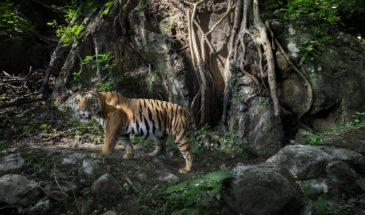 Tigre au Chitwan National Park, Paul McDougall