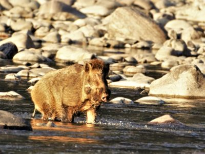 Wild boar in Chitwan National Park, Bruce Oswald