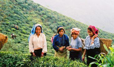 Plantation de thé à Lava, Kalimpong