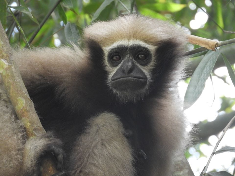 Hoolock Gibbon in Hoolongapar Gibbon Wildlife Sanctuary, Assam