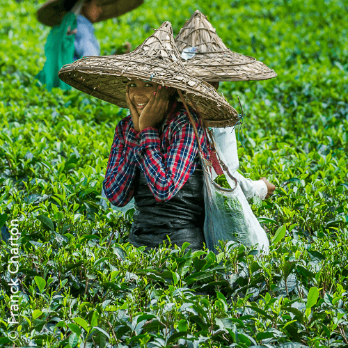 Assam Tea Garden – Tea Tasting Tour in North East India